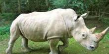 Белый носорог. Красная книга (доклад, 4 класс)