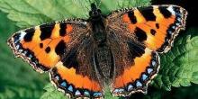 Бабочка крапивница (описание для детей)