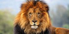 Доклад про льва (1 класс)
