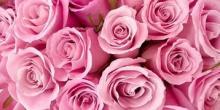 Роза. Описание растения для детей
