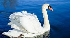 Лебедь (описание для детей)