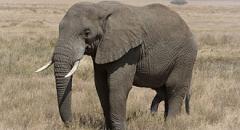 африканский слон доклад для 1 класса