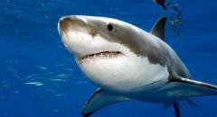 Доклад про акулу для 1 класса