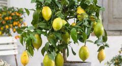 Комнатный лимон. Сообщение о комнатном растении для 2 класса (окружающий мир)