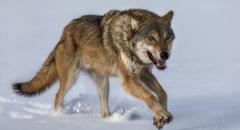 Волк. Описание для детей 2 класса