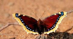 Бабочка траурница (описание для школьников 2 класса)