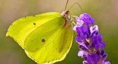 Бабочка-лимонница (описание для школьников 2 класса)