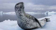Морской леопард (доклад, 1 класс)