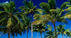 кокосовая пальма доклад для 3 класса