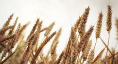 Пшеница (доклад, 3 класс, окружающий мир)