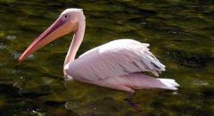 Розовый пеликан. Красная книга. Описание для детей