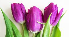 доклад про тюльпаны 2 класс