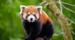 Красная панда (доклад для 4 класса)