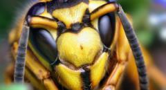 Пчелы осы и шершни (доклад, 2 класс)