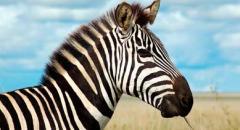 Зебра (животное). Описание для детей