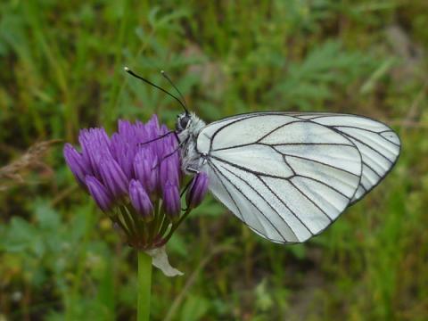 Доклад о бабочках-капустницах (2 класс, окружающий мир)