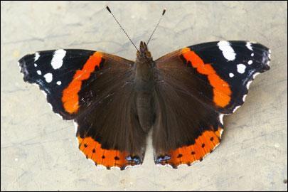 """Бабочка """"Адмирал"""". Описание для детей"""