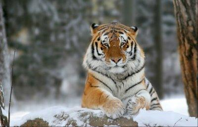Амурский тигр доклад красная книга 8643