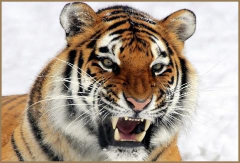 картинка тигр амурский