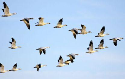 Перелетные птицы (доклад, 1 класс)
