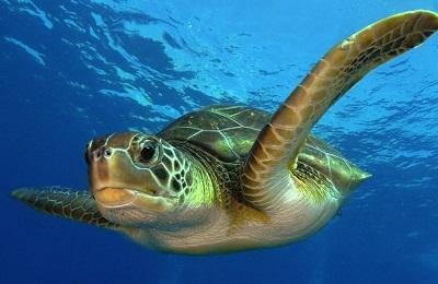 зеленая морская черепаха доклад 4 класс
