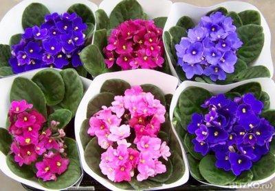 фиалка описание растения для детей
