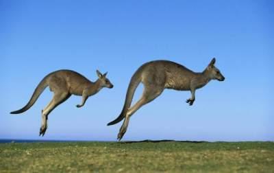 описание кенгуру для детей