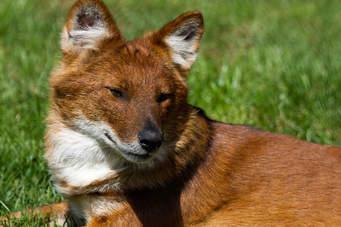 Красный волк (краткое описание для детей)