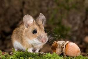 лесная мышь описание для детей