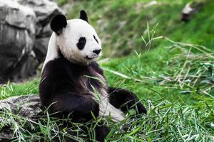 Панда. Доклад (2 класс, окружающий мир)