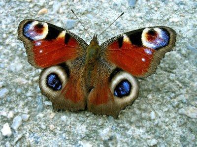 """Бабочка """"Павлиний глаз"""" (описание для детей)"""
