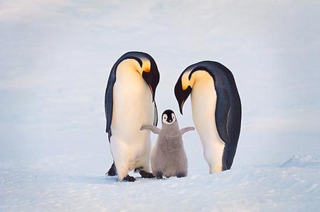 Рассказ о пингвинах для 1 класса