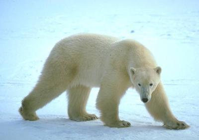 Белый медведь (доклад для 4 класса)