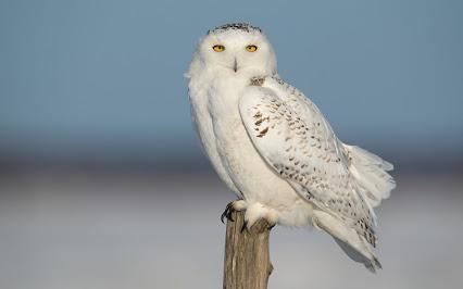полярная сова доклад для 4 класса