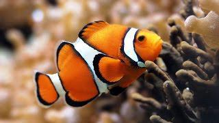Рыба-клоун (описание для детей)