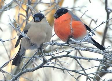 Снегирь (описание птицы для детей)