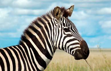 Доклад на тему зебра 5411